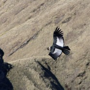 The Condors of 'Condor Valley'