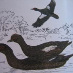 Pato Real (Muscovy Duck)