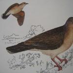 White-tipped Dove - Yeruti Comun