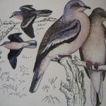 Picui Ground-Dove - Torcacita Comun