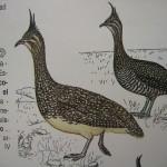 Elegant Crested Tinamou - Marineta Comun