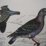 Spot-winged Pigeon - Paloma Manchada