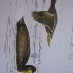 Gallereta Chica (White-winged Coot)
