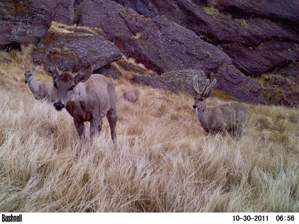 Taruka caught on Cam Condor Valley